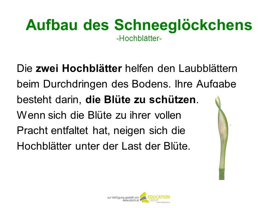 Aufbau des Schneeglöckchens -Hochblätter- Die zwei Hochblätter helfen den Laubblättern beim Durchdringen des Bodens. Ihre Aufgabe besteht darin, die B