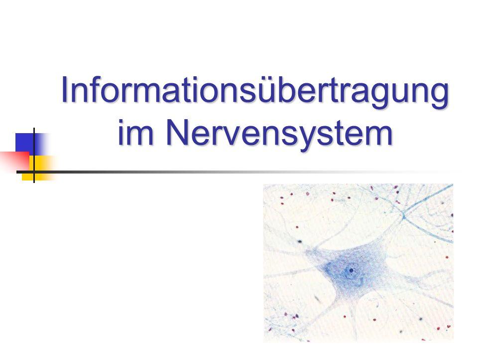 Eine Nervenzelle besteht aus folgenden (Haupt-) Bestandteilen: Zellkörper (Soma) Dendriten Axon Synapsen