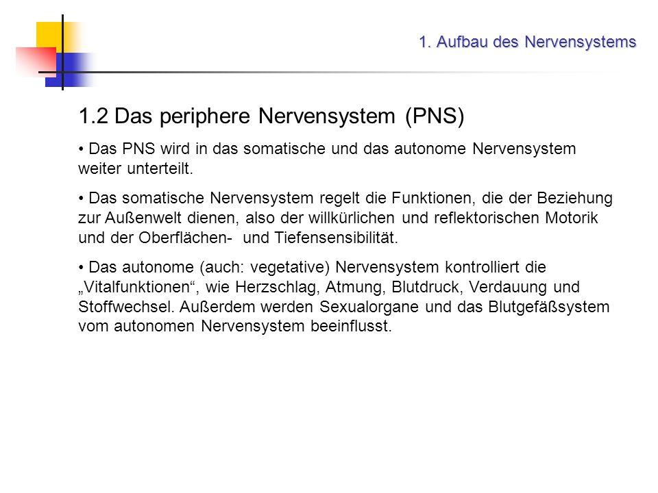 1. Aufbau des Nervensystems 1.2 Das periphere Nervensystem (PNS) Das PNS wird in das somatische und das autonome Nervensystem weiter unterteilt. Das s