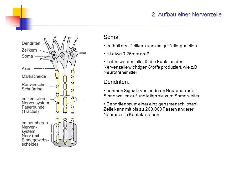 2. Aufbau einer Nervenzelle Soma: enthält den Zellkern und einige Zellorganellen ist etwa 0,25mm groß in ihm werden alle für die Funktion der Nervenze