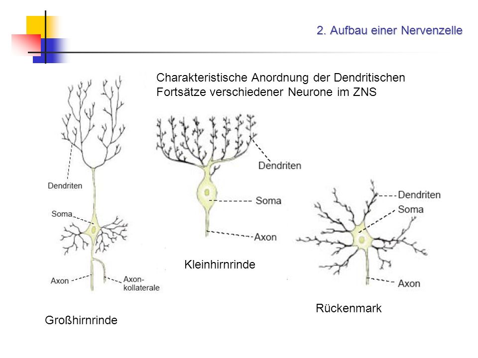 2. Aufbau einer Nervenzelle Großhirnrinde Charakteristische Anordnung der Dendritischen Fortsätze verschiedener Neurone im ZNS Kleinhirnrinde Rückenma