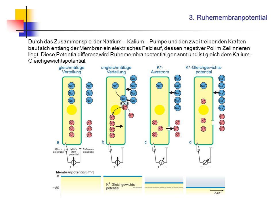3. Ruhemembranpotential Durch das Zusammenspiel der Natrium – Kalium – Pumpe und den zwei treibenden Kräften baut sich entlang der Membran ein elektri