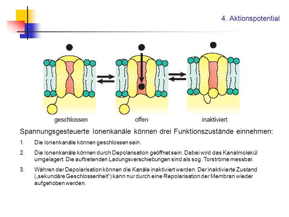 4. Aktionspotential Spannungsgesteuerte Ionenkanäle können drei Funktionszustände einnehmen: 1.Die Ionenkanäle können geschlossen sein. 2.Die Ionenkan