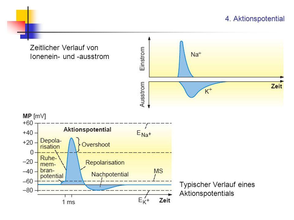 4. Aktionspotential Typischer Verlauf eines Aktionspotentials Zeitlicher Verlauf von Ionenein- und -ausstrom