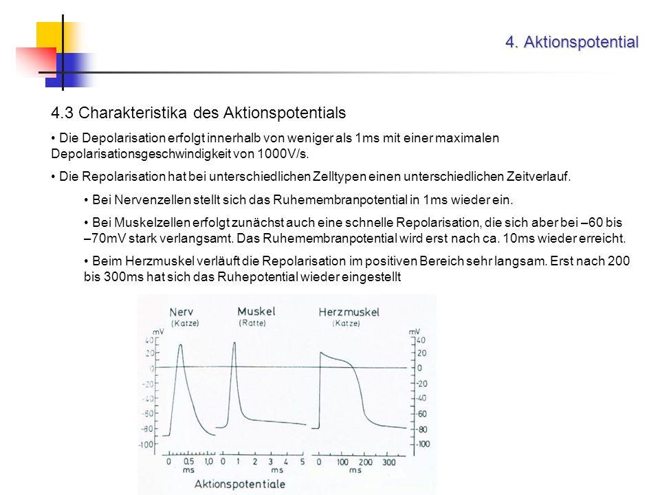 4. Aktionspotential 4.3 Charakteristika des Aktionspotentials Die Depolarisation erfolgt innerhalb von weniger als 1ms mit einer maximalen Depolarisat
