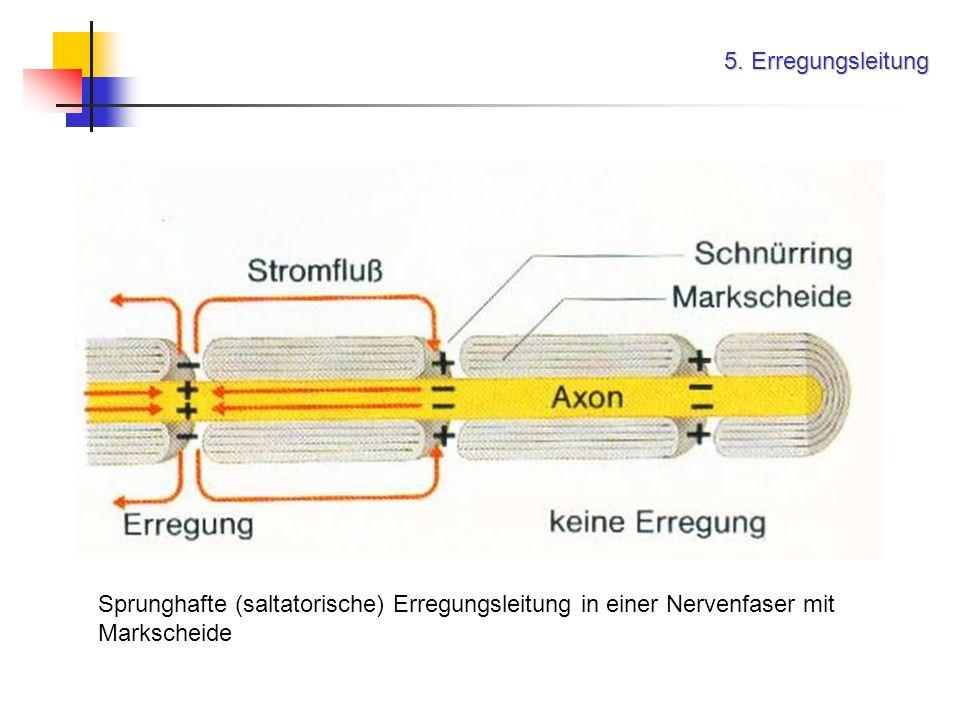 5. Erregungsleitung Sprunghafte (saltatorische) Erregungsleitung in einer Nervenfaser mit Markscheide