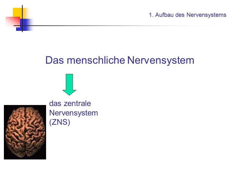 Informationsübertragung im Nervensystem 3. Ruhemembranpotential