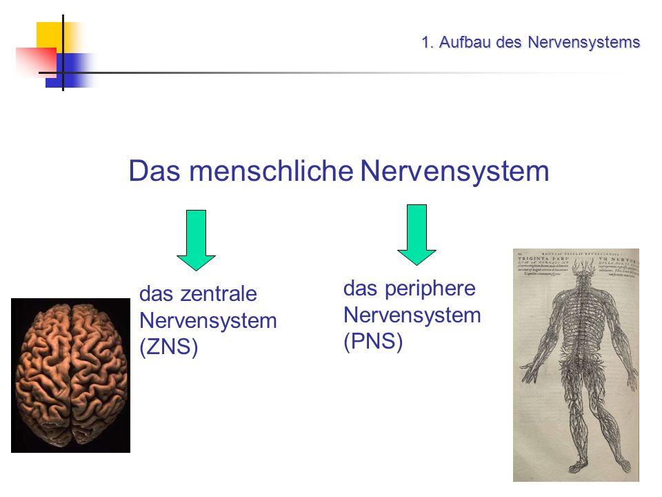 Informationsübertragung im Nervensystem 5. Erregungsleitung