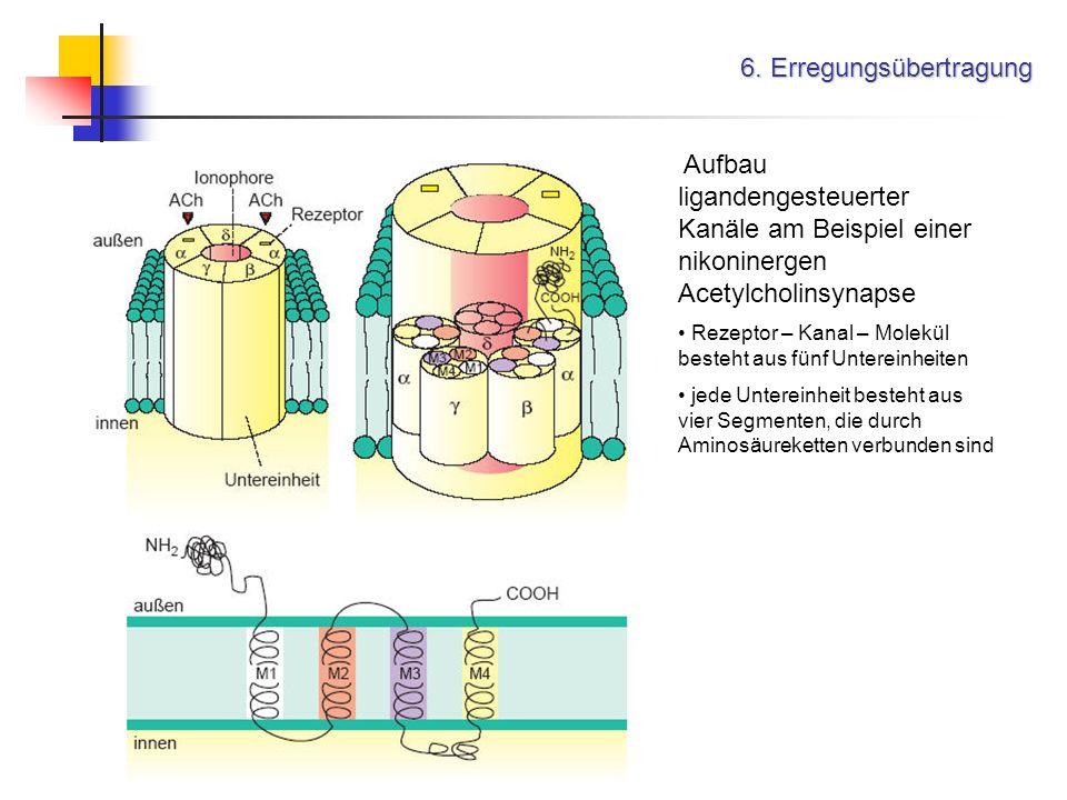 6. Erregungsübertragung Aufbau ligandengesteuerter Kanäle am Beispiel einer nikoninergen Acetylcholinsynapse Rezeptor – Kanal – Molekül besteht aus fü
