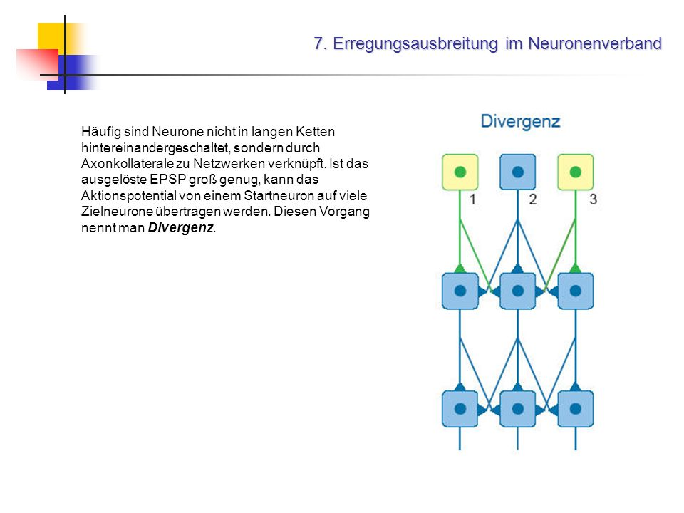 7. Erregungsausbreitung im Neuronenverband Häufig sind Neurone nicht in langen Ketten hintereinandergeschaltet, sondern durch Axonkollaterale zu Netzw