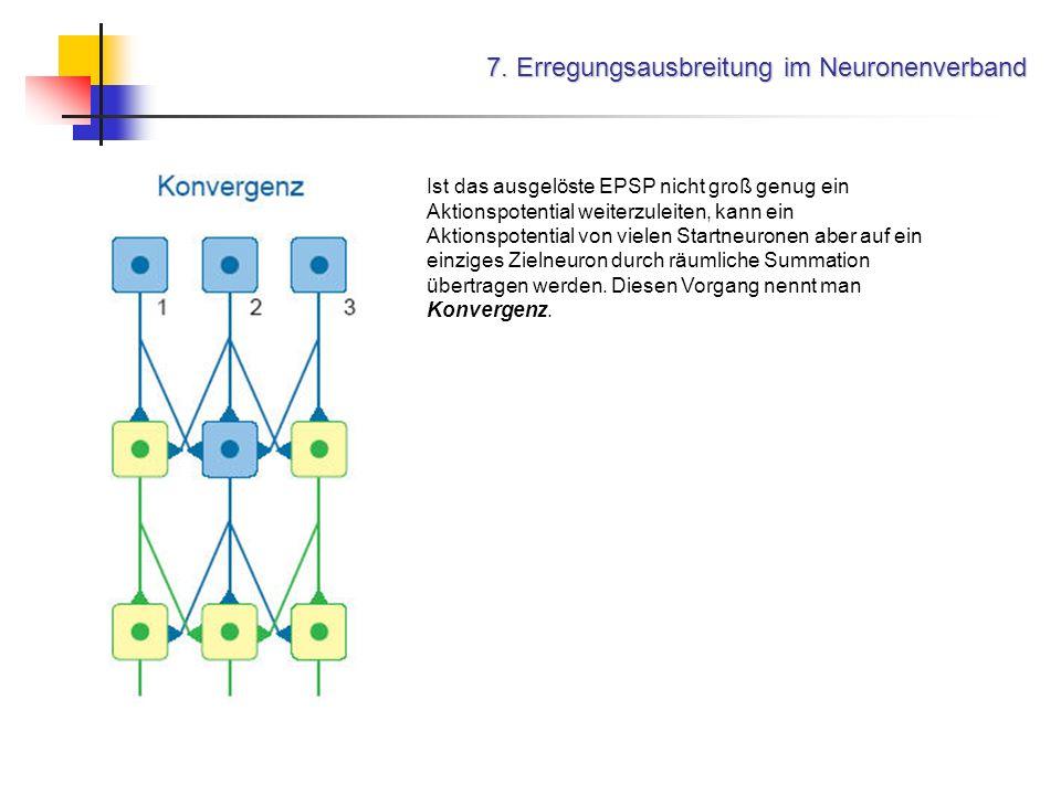 7. Erregungsausbreitung im Neuronenverband Ist das ausgelöste EPSP nicht groß genug ein Aktionspotential weiterzuleiten, kann ein Aktionspotential von