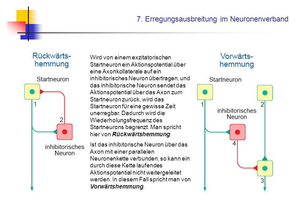 7. Erregungsausbreitung im Neuronenverband Wird von einem exzitatorischen Startneuron ein Aktionspotential über eine Axonkollaterale auf ein inhibitor