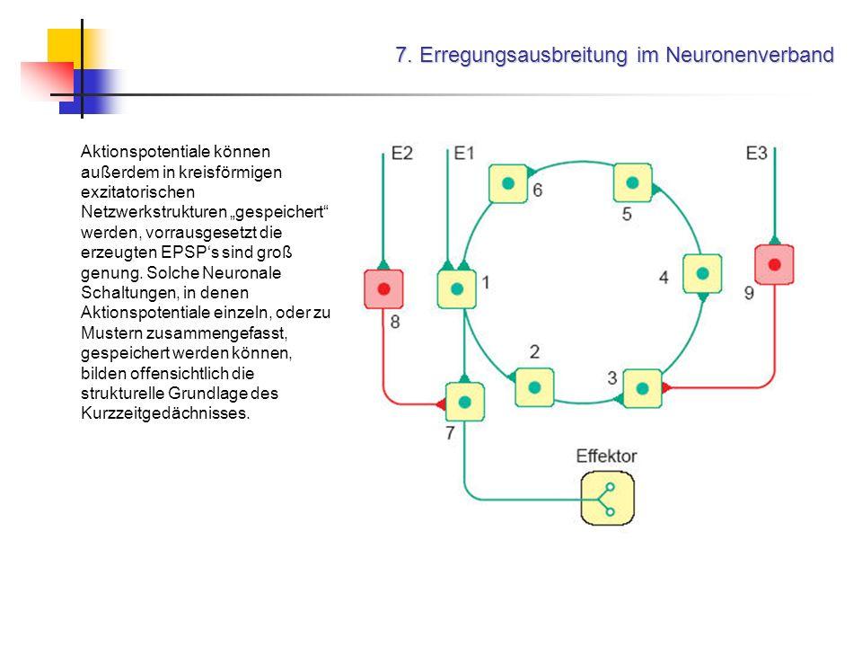 7. Erregungsausbreitung im Neuronenverband Aktionspotentiale können außerdem in kreisförmigen exzitatorischen Netzwerkstrukturen gespeichert werden, v