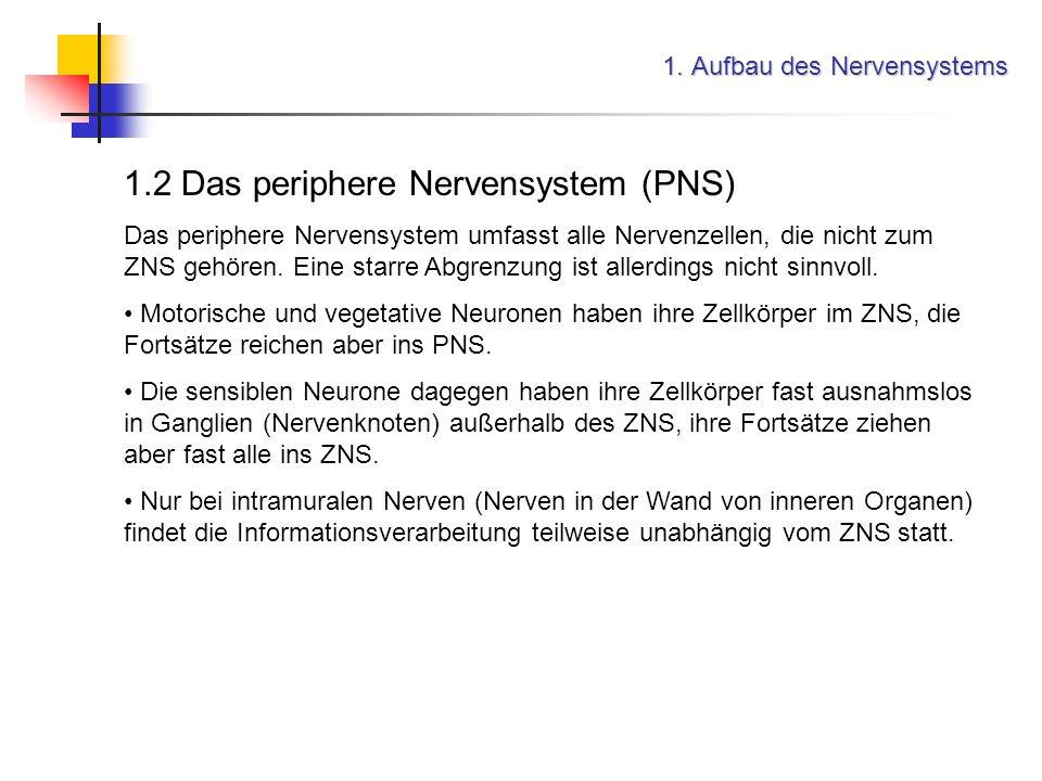 1. Aufbau des Nervensystems 1.2 Das periphere Nervensystem (PNS) Das periphere Nervensystem umfasst alle Nervenzellen, die nicht zum ZNS gehören. Eine