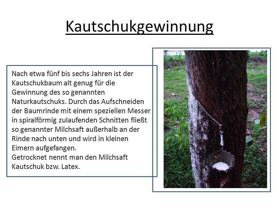 Kautschukgewinnung Nach etwa fünf bis sechs Jahren ist der Kautschukbaum alt genug für die Gewinnung des so genannten Naturkautschuks. Durch das Aufsc