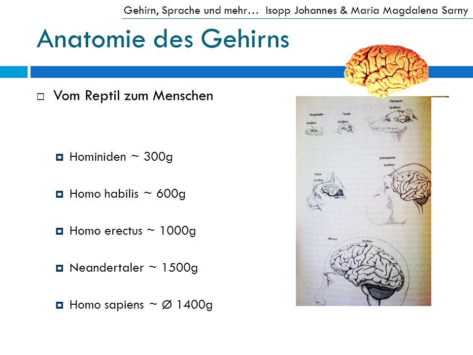 Anatomie des Gehirns Vom Reptil zum Menschen Hominiden ~ 300g Homo habilis ~ 600g Homo erectus ~ 1000g Neandertaler ~ 1500g Homo sapiens ~ Ø 1400g Geh