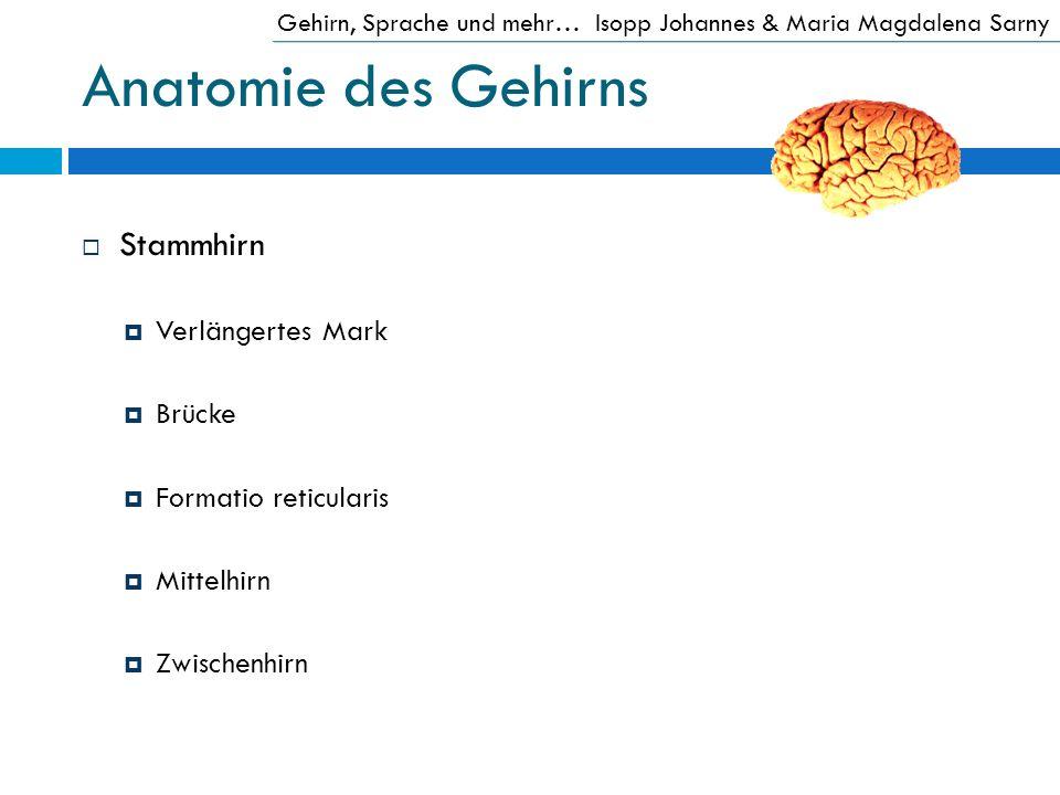 Anatomie des Gehirns Stammhirn Verlängertes Mark Brücke Formatio reticularis Mittelhirn Zwischenhirn Gehirn, Sprache und mehr…Isopp Johannes & Maria M