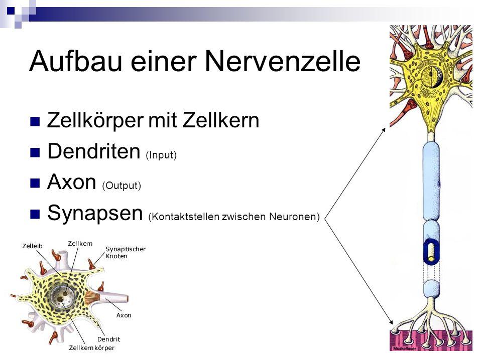 Aufbau einer Nervenzelle Zellkörper mit Zellkern Dendriten (Input) Axon (Output) Synapsen (Kontaktstellen zwischen Neuronen)