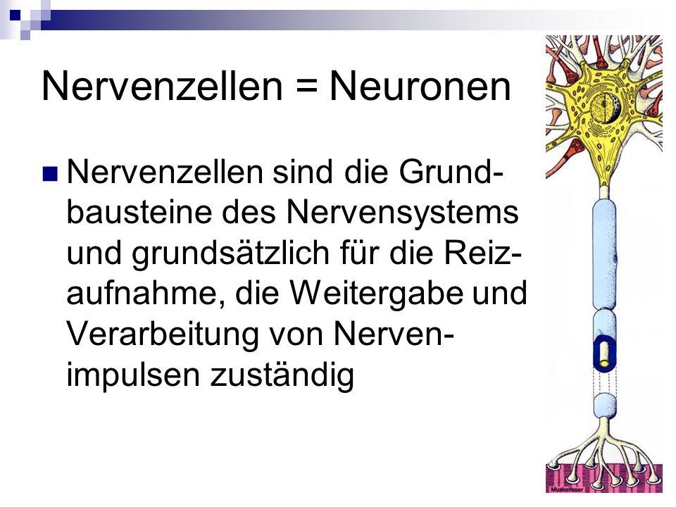 Nervenzellen = Neuronen Nervenzellen sind die Grund- bausteine des Nervensystems und grundsätzlich für die Reiz- aufnahme, die Weitergabe und Verarbei