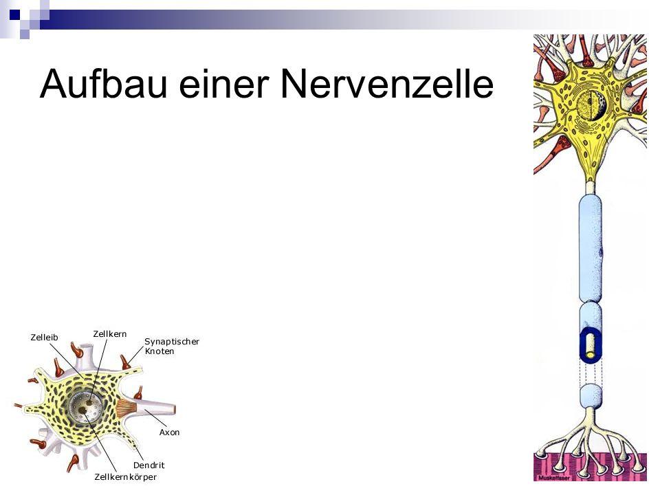Das künstliche Neuron Dendriten Zelle Axon Verbindung zur nächsten Zelle