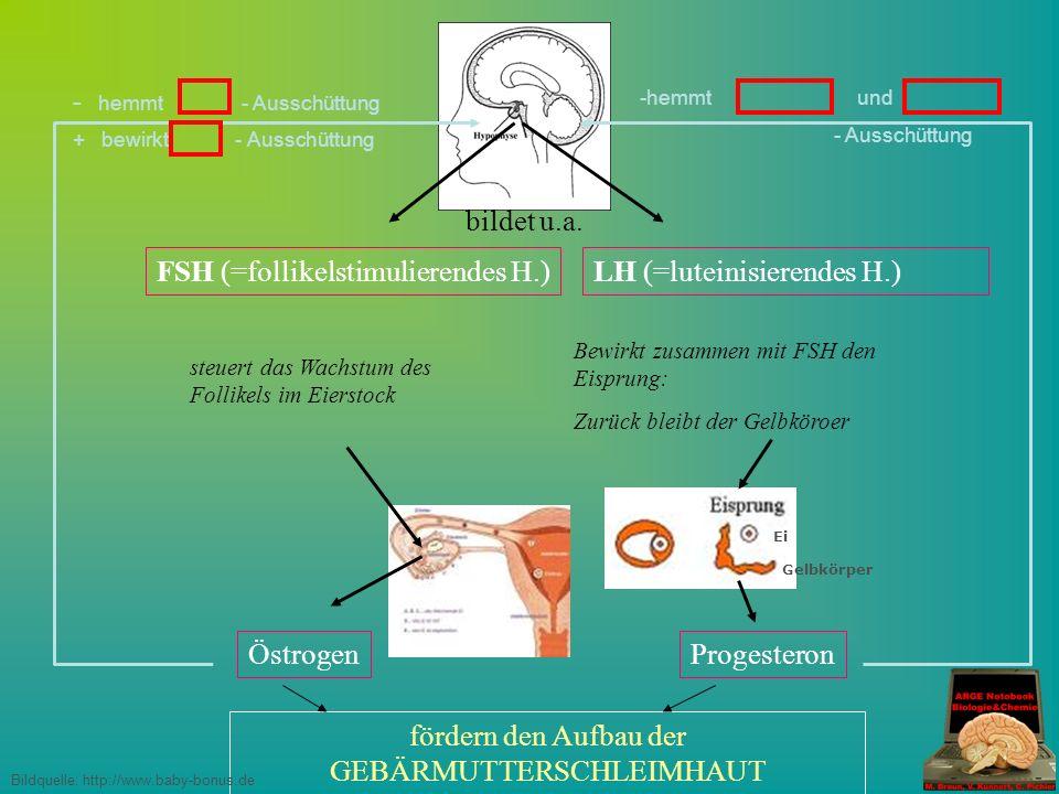 FSH (=follikelstimulierendes H.) steuert das Wachstum des Follikels im Eierstock bildet u.a.