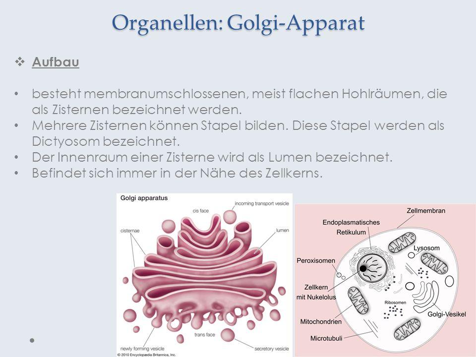 Organellen: Golgi-Apparat Aufbau besteht membranumschlossenen, meist flachen Hohlräumen, die als Zisternen bezeichnet werden. Mehrere Zisternen können