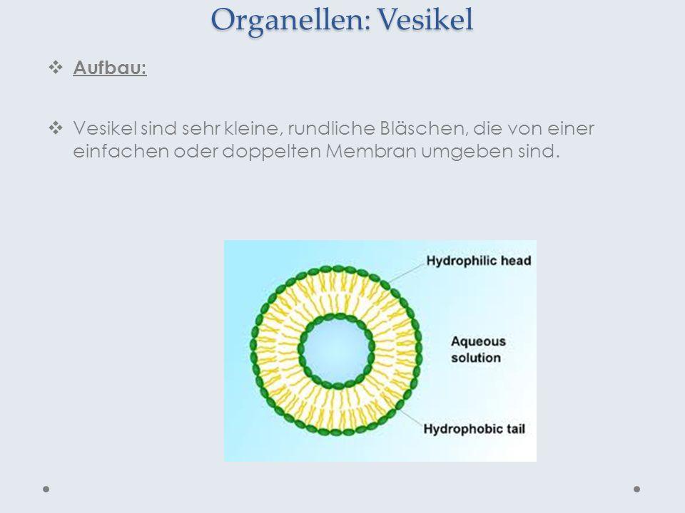 Organellen: Vesikel Aufbau: Vesikel sind sehr kleine, rundliche Bläschen, die von einer einfachen oder doppelten Membran umgeben sind.
