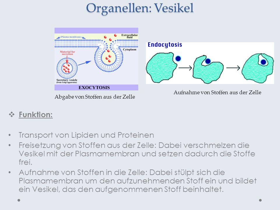 Organellen: Vesikel Funktion: Transport von Lipiden und Proteinen Freisetzung von Stoffen aus der Zelle: Dabei verschmelzen die Vesikel mit der Plasma