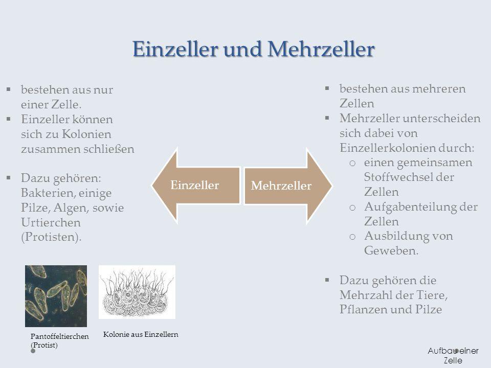 Einzeller und Mehrzeller Aufbau einer Zelle Einzeller Mehrzeller bestehen aus nur einer Zelle. Einzeller können sich zu Kolonien zusammen schließen Da