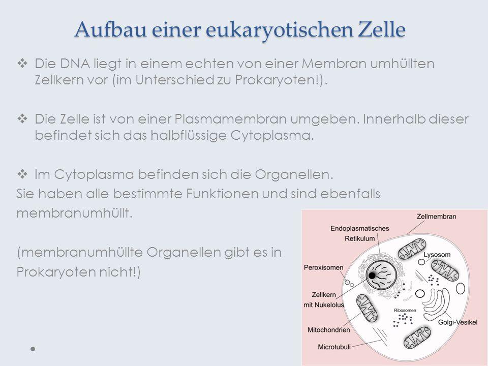 Aufbau einer eukaryotischen Zelle Die DNA liegt in einem echten von einer Membran umhüllten Zellkern vor (im Unterschied zu Prokaryoten!). Die Zelle i
