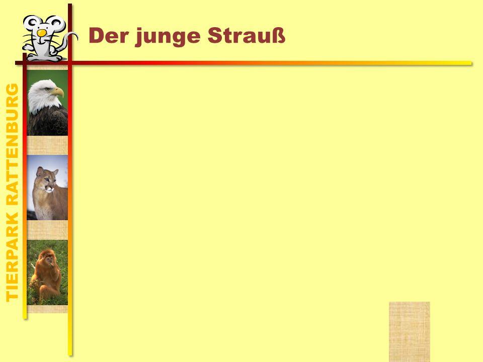 TIERPARK RATTENBURG Der junge Strauß