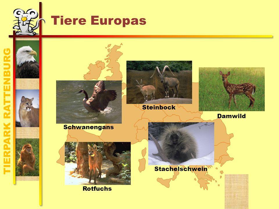 TIERPARK RATTENBURG Tiere Europas Steinbock Damwild StachelschweinRotfuchs Schwanengans