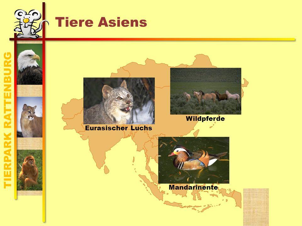 TIERPARK RATTENBURG Tiere Asiens MandarinenteEurasischer Luchs Wildpferde