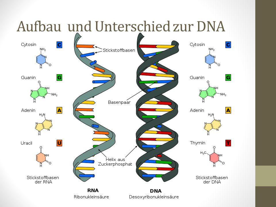Sie ist einzelstängig – das ermöglicht mehrere chemische Reaktionen als bei der DNA Wie bei DNA besteht ein Strang aus Nukleotiden: einer Ribose + einem Phosphatrest + einer org.