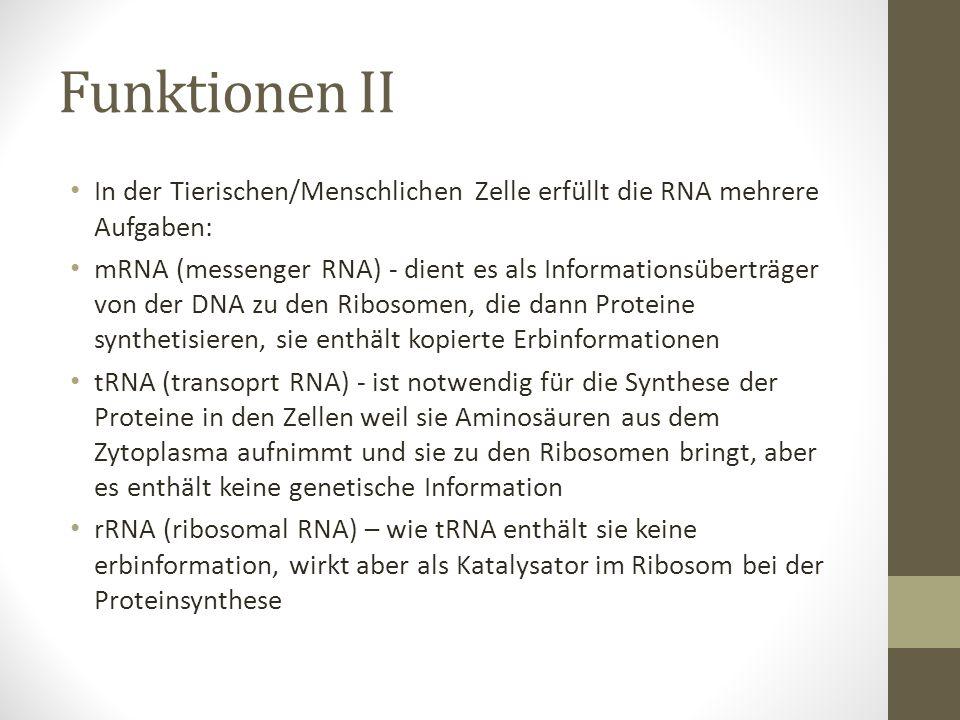 Funktionen II In der Tierischen/Menschlichen Zelle erfüllt die RNA mehrere Aufgaben: mRNA (messenger RNA) - dient es als Informationsüberträger von de