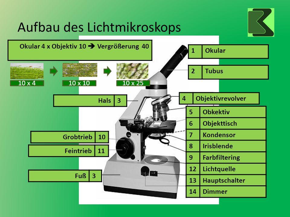 Aufbau des Lichtmikroskops 1Okular 2Tubus 7Kondensor 8Irisblende 9Farbfiltering 12Lichtquelle 13Hauptschalter 14Dimmer 4Objektivrevolver 5Obkektiv 6Ob