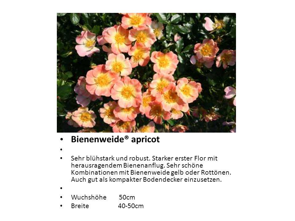 Bienenweide® apricot Sehr blühstark und robust. Starker erster Flor mit herausragendem Bienenanflug. Sehr schöne Kombinationen mit Bienenweide gelb od