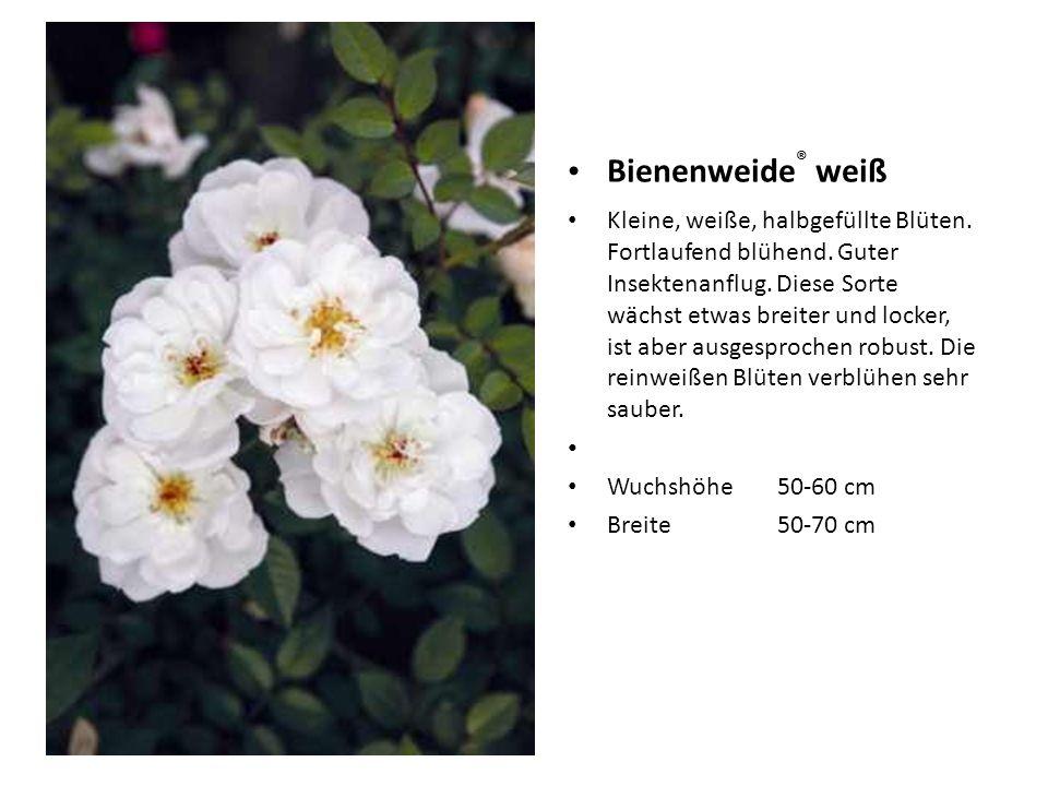 Bienenweide ® weiß Kleine, weiße, halbgefüllte Blüten. Fortlaufend blühend. Guter Insektenanflug. Diese Sorte wächst etwas breiter und locker, ist abe