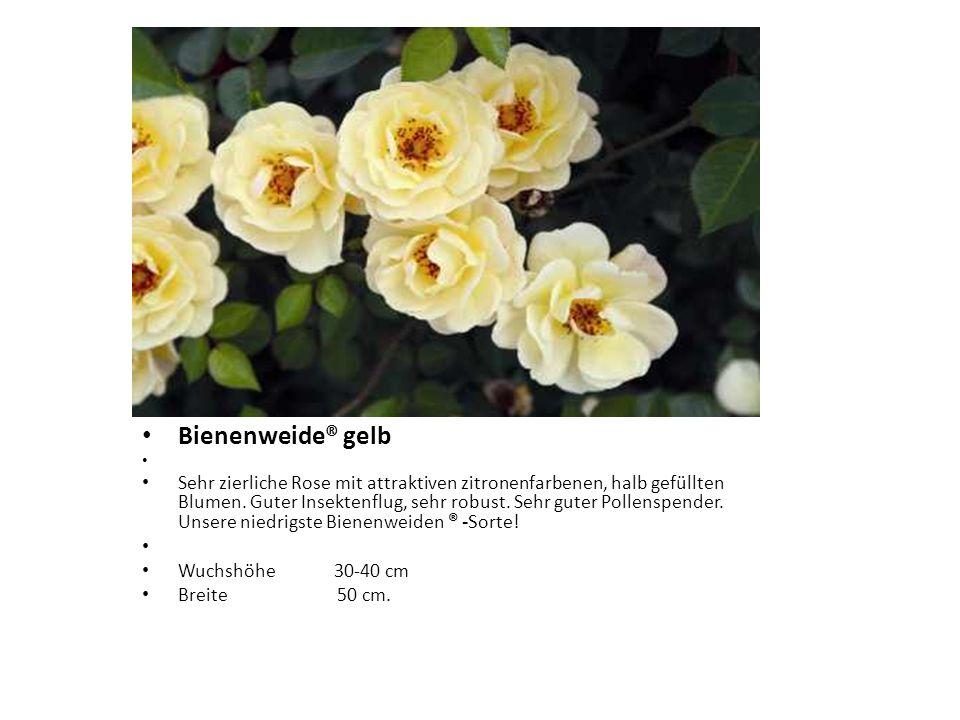 Bienenweide® gelb Sehr zierliche Rose mit attraktiven zitronenfarbenen, halb gefüllten Blumen. Guter Insektenflug, sehr robust. Sehr guter Pollenspend