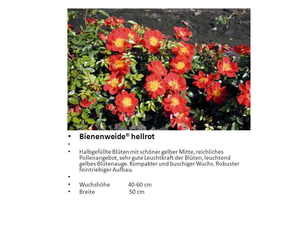 Bienenweide® hellrot Halbgefüllte Blüten mit schöner gelber Mitte, reichliches Pollenangebot, sehr gute Leuchtkraft der Blüten, leuchtend gelbes Blüte