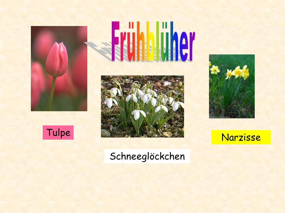Es gibt Varianten in schneeweiß, goldgelb, orangefarben und purpurrot. zurück