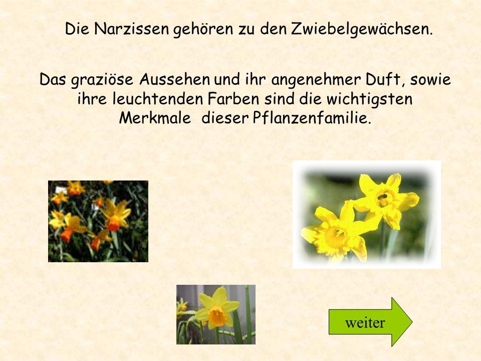 15 - 40 cm hoch, nickende gelbe Blüten, wobei die zentrale Blütenröhre kräftiger gefärbt ist, als die 6 Blütenblätter; in der Regel nur eine Blüte pro