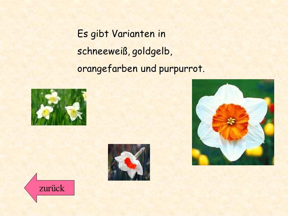 Die Narzissen gehören zu den Zwiebelgewächsen. Das graziöse Aussehen und ihr angenehmer Duft, sowie ihre leuchtenden Farben sind die wichtigsten Merkm