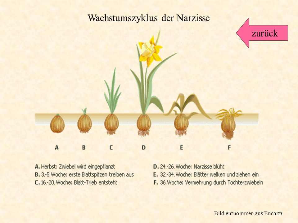 Die Narzisse wächst aus einer Zwiebel. Diese dient als Vorratsspeicher. Sie enthält alles, was die Pflanze zum Wachsen so braucht. Auch einige andere