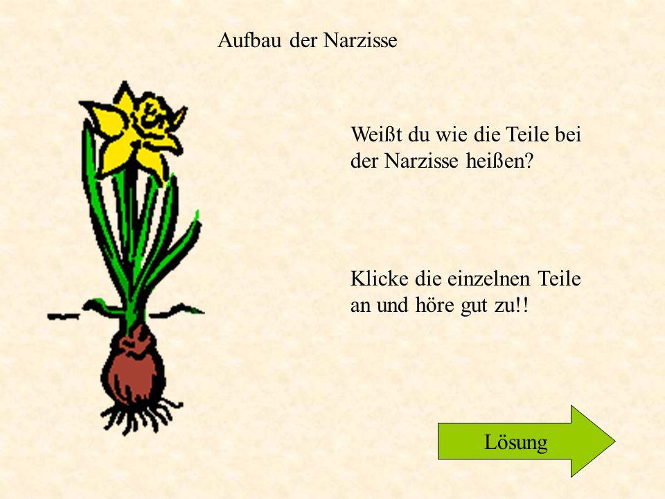 Wachstumszyklus der Narzisse Bild entnommen aus Encarta zurück