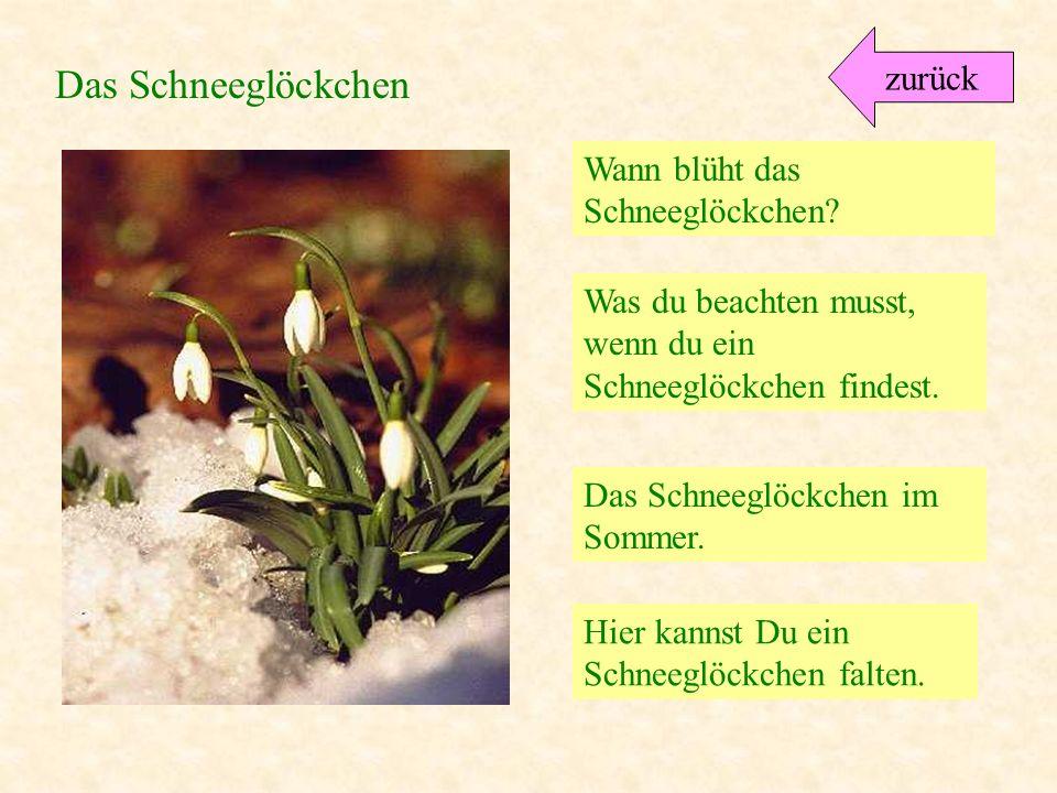 Tulpe Schneeglöckchen Narzisse