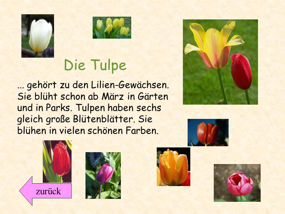 Der Aufbau der Tulpe Wie sieht eine Tulpe aus? Bastelanleitun g zurück