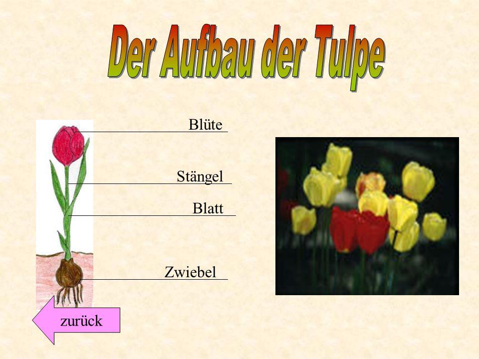 Die Tulpe... gehört zu den Lilien-Gewächsen. Sie blüht schon ab März in Gärten und in Parks. Tulpen haben sechs gleich große Blütenblätter. Sie blühen