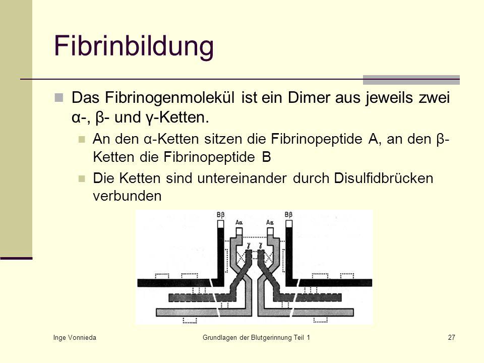Inge Vonnieda Grundlagen der Blutgerinnung Teil 127 Fibrinbildung Das Fibrinogenmolekül ist ein Dimer aus jeweils zwei α-, β- und γ-Ketten. An den α-K