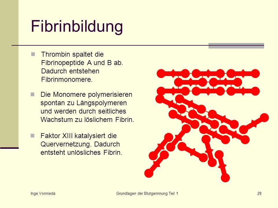 Inge Vonnieda Grundlagen der Blutgerinnung Teil 128 Fibrinbildung Thrombin spaltet die Fibrinopeptide A und B ab. Dadurch entstehen Fibrinmonomere. Di